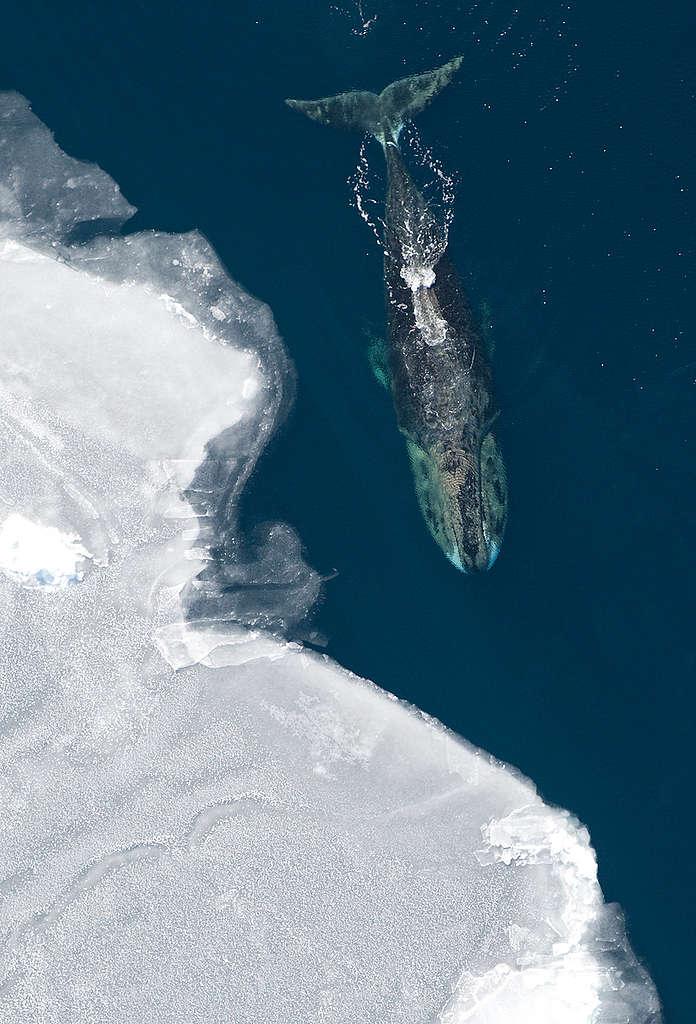 對北極海域的弓頭鯨來說,長命百歲不是夢。 © Vicki Beaver / NOAA