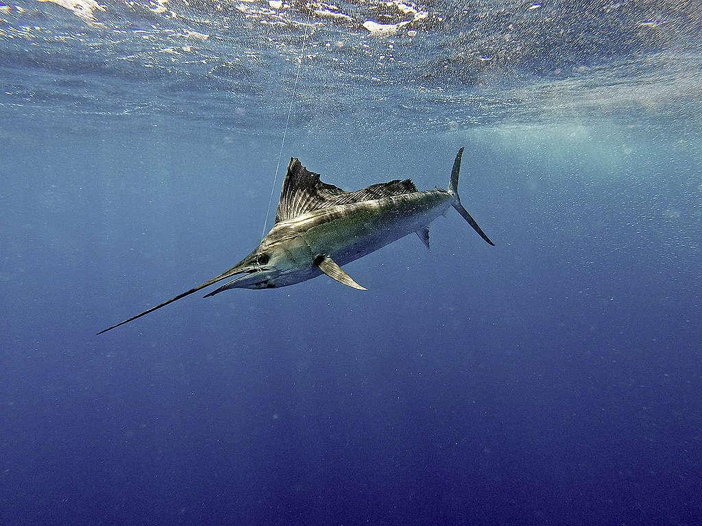 旗魚在海中移動速度非常快,最高可達時速109公里。 © kelldallfall / Shutterstock.com