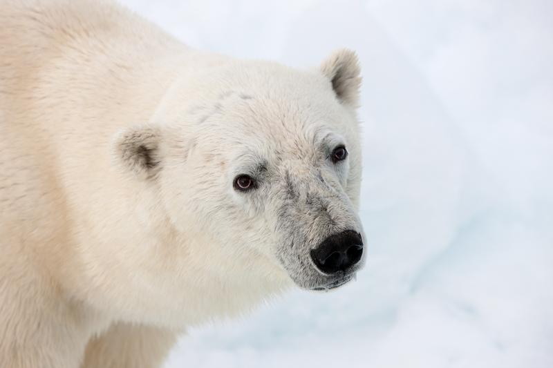 北極熊有「三眼皮」,看得出來嗎?© Alex Yallop/Greenpeace