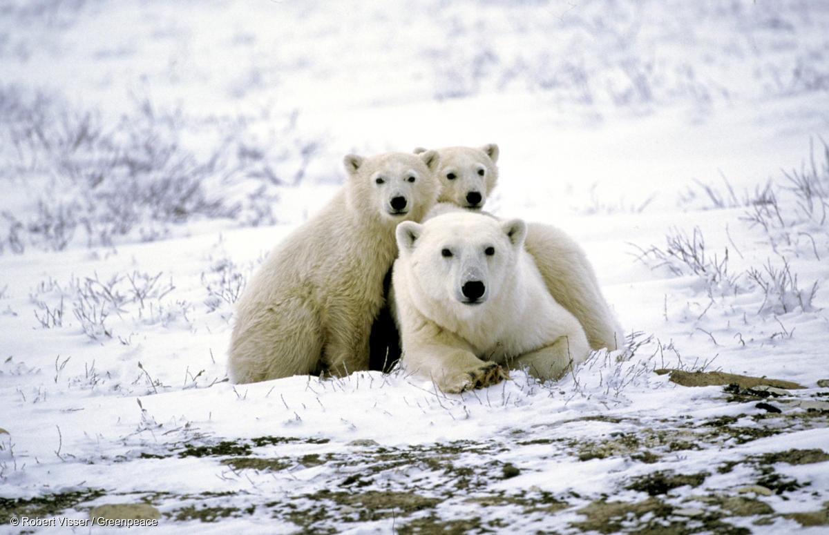 北極熊一家大小,加拿大曼尼托巴省邱吉爾鎮附近。© Robert Visser/Greenpeace