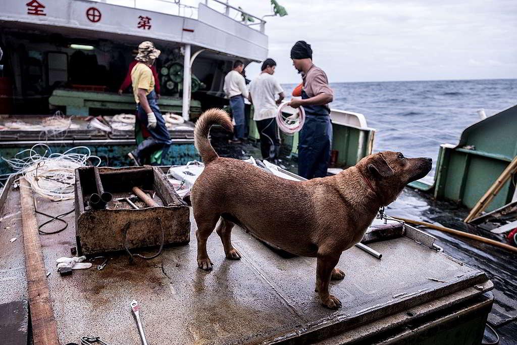 中大西洋上,一艘台灣延繩釣漁船的船員正把釣繩放入海中。 © Tommy Trenchard / Greenpeace