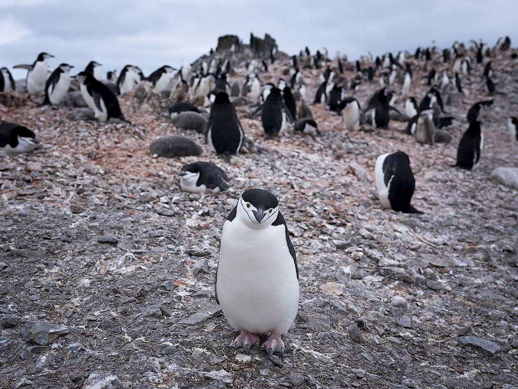 南極頰帶企鵝看似密密麻麻,綠色和平最新研究卻發現其數目驟減高達77%。 © Abbie Trayler-Smith / Greenpeace