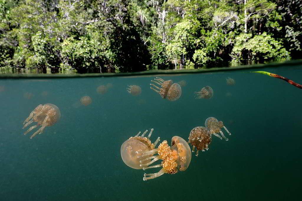 印尼巴布亞省四王群島(Raja Ampat)的紅樹林孕育無數珍貴物種,卻面臨塑膠污染、海岸開發等威脅。 © Paul Hilton / Greenpeace
