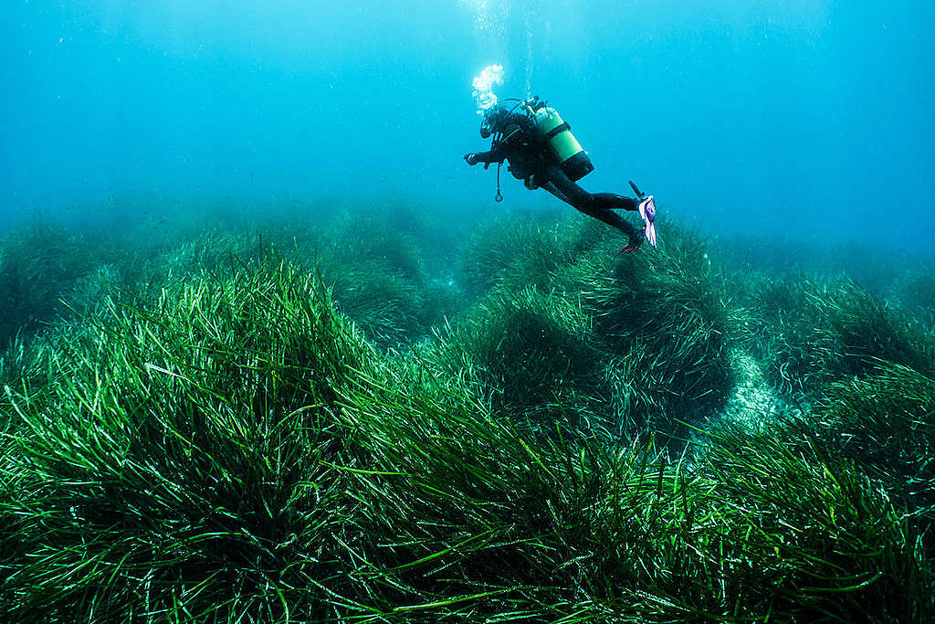 地中海的大洋海神草(Posidonia Oceanica)為「藍碳」生態系重要的一環,能儲存碳長達數千年,協助減緩氣候變遷。 © Egidio Trainito / Greenpeace