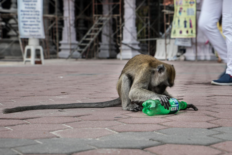 在馬來西亞雪蘭莪景點黑風洞,猴子從垃圾桶抽出遊客帶來的膠樽把玩。© Han Choo / Greenpeace