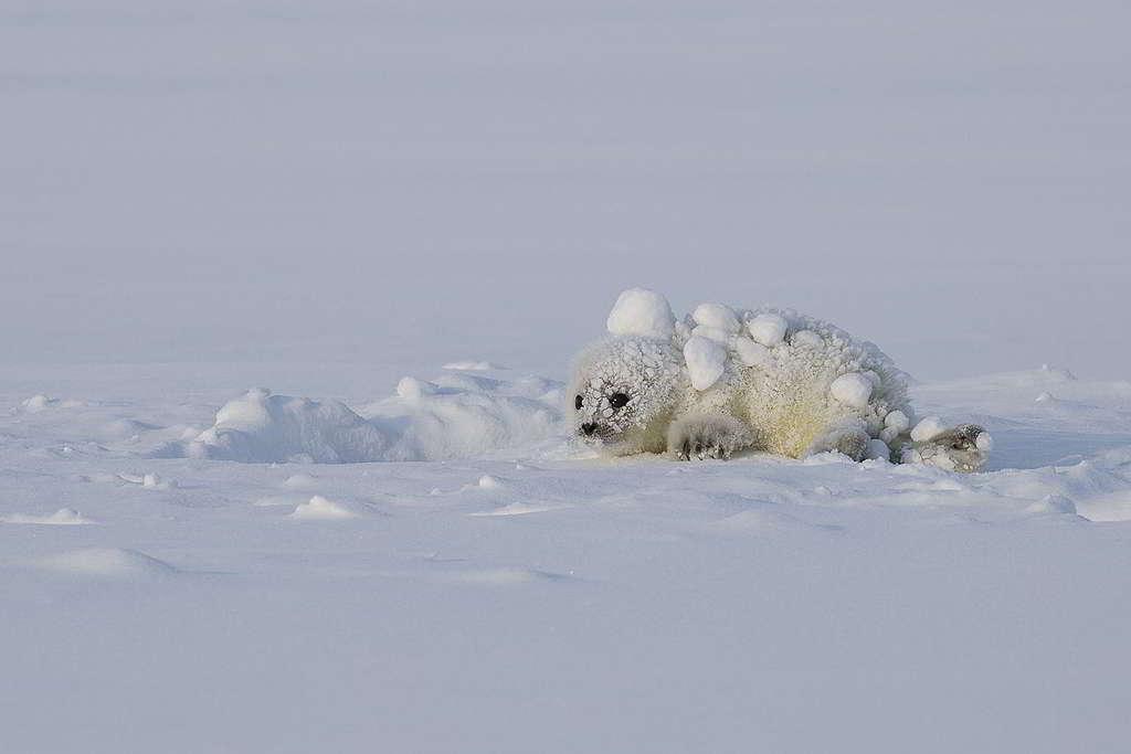 挪威斯瓦爾巴島(Svalbard)的雪白小海豹,理應與雪地「天人合一」成長,如今卻面臨生存危機。 © Nick Cobbing / Greenpeace