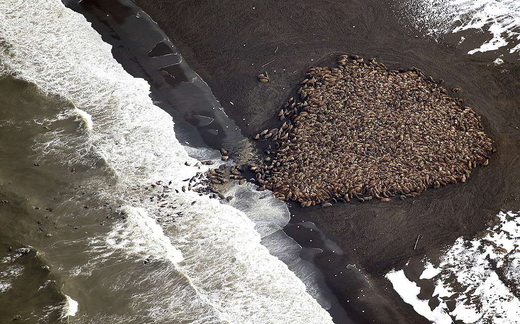 2014年9月,美國國家海洋及大氣管理局(NOAA)捕捉到數以千隻海象瘋湧阿拉斯加Point Lay的景象;類似情況亦曾在俄羅斯出現。© National Oceanic and Atmospheric Administration