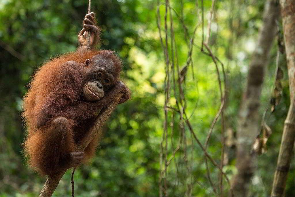 因紙漿與棕櫚油企業大肆擴張,印尼雨林長年遭受砍伐、焚燒,許多仰賴雨林生存的野生動物如老虎、大象、紅毛猩猩因而死亡。 © Bjorn Vaugn / BOSF / Greenpeace
