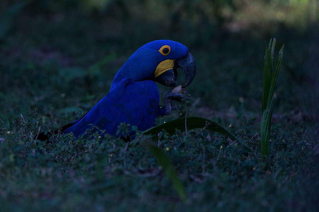 紫藍金剛鸚鵡(Hyacinth Macaw)有著威武名字,面對步步進迫的農業擴張與非法伐林卻束手無策。 © Victor Moriyama