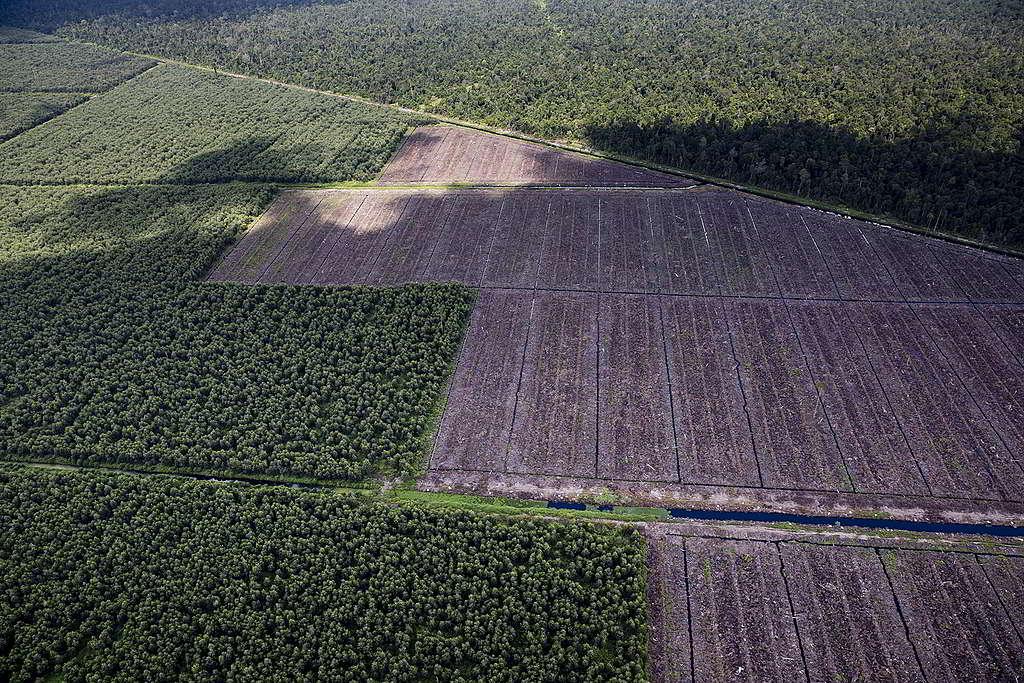 金光集團旗下的造紙企業APP,破壞大片珍貴雨林。 © Kemal Jufri / Greenpeace