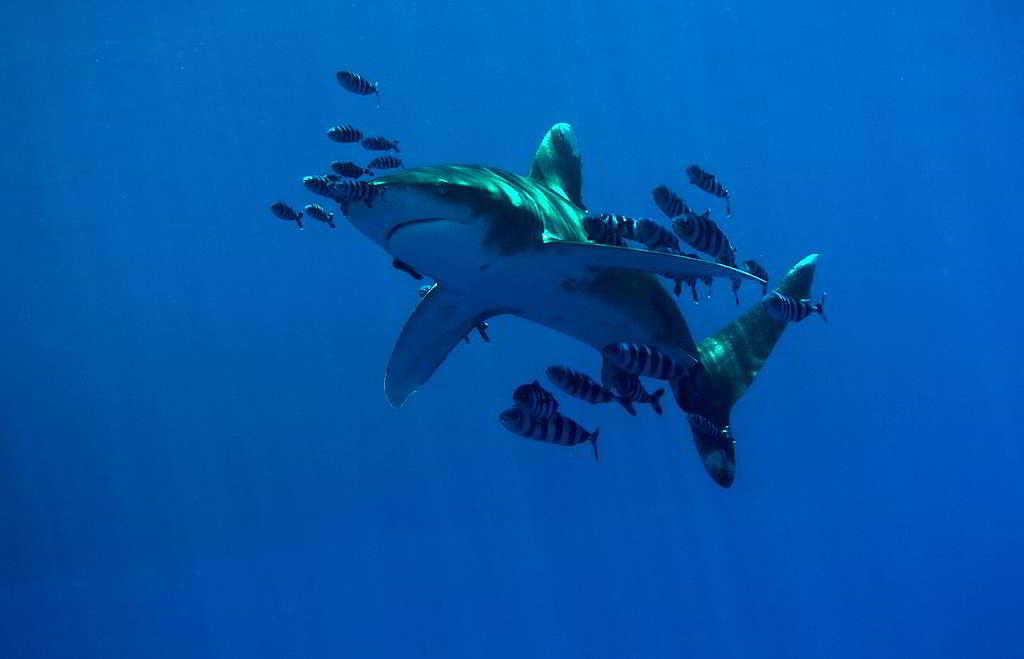 身為獵捕高手的鯊魚,有效維持海洋物種之間的數量平衡。 © Axel Heimken / Greenpeace