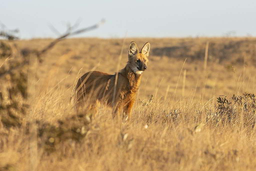 稀樹草原看似一片蠻荒,卻有鬃狼(maned wolf)等物種馳騁其中。 © Andre Dib