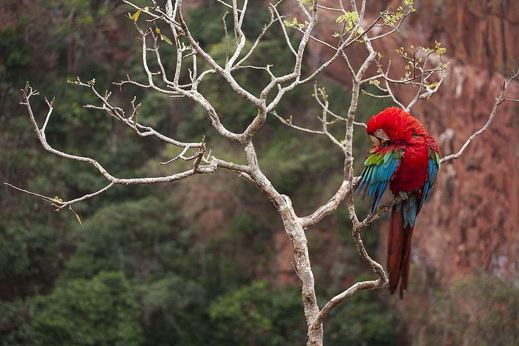 綠翅金剛鸚鵡(red-and-green macaw),可能是不少人眼中最「面善」的鸚鵡。 © Roberto Isotti / A.Cambone / Homo ambiens / Greenpeace