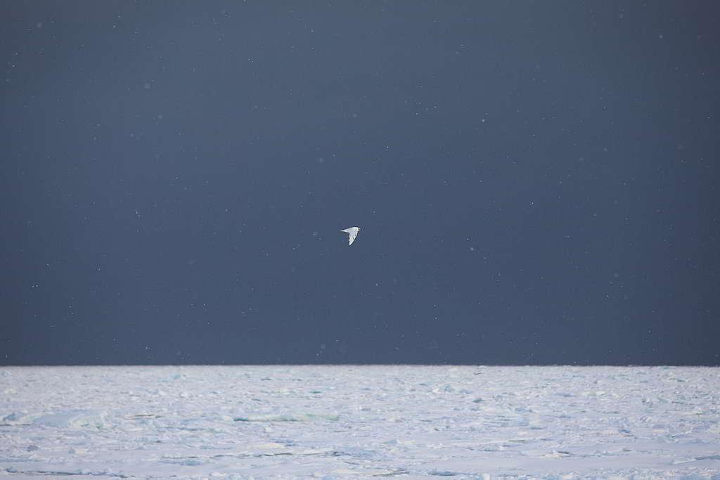 天地一沙鷗,北極本應如此特立獨行而自由自在。 © Daniella Zalcman / Greenpeace