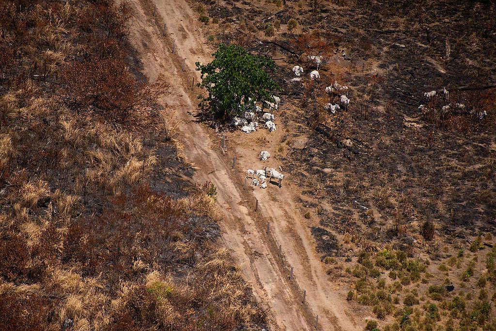 位於巴西亞馬遜帕拉州(Pará)的Fazenda Bacuri農場,年前涉及毀林遭罰款200萬雷亞爾,2019年8月農場内禁制地區再發現非法火場。此農場的牛隻,至少在2020年4月之前,有供應給JBS位於Marabá的屠宰場。2020年8月,即使在官方禁火令下,依然在禁制範圍有火災熱點的紀錄。© Christian Braga / Greenpeace
