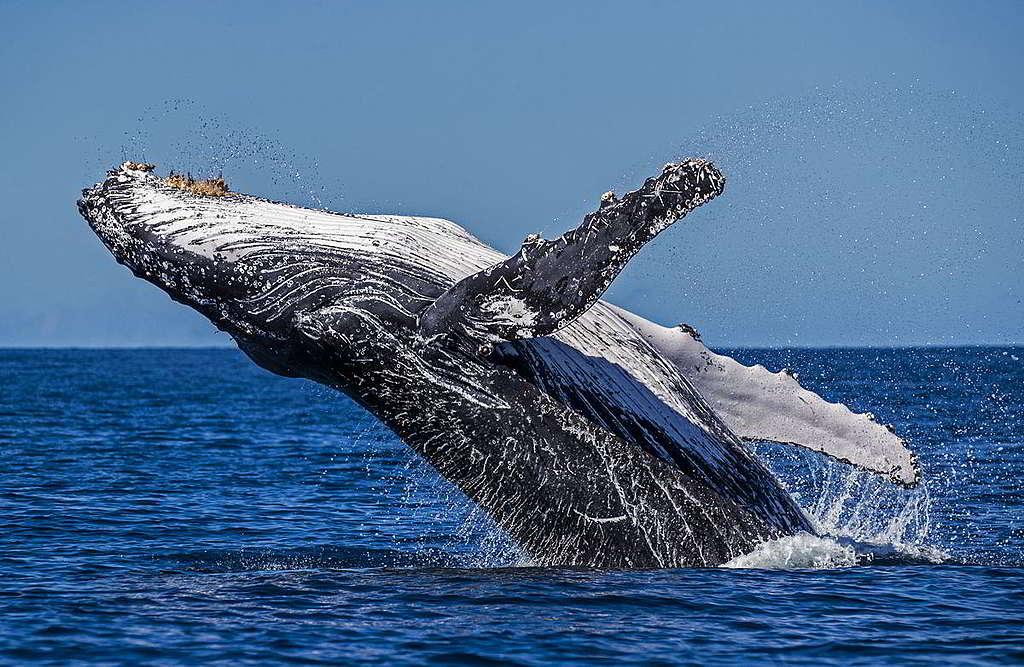 經過70年不懈努力的保育工作,座頭鯨由上世紀中經歷濫捕下僅剩450隻,回升至現今約25,000隻,足見海洋生命力仍充滿希望。 © Paul Hilton / Greenpeace