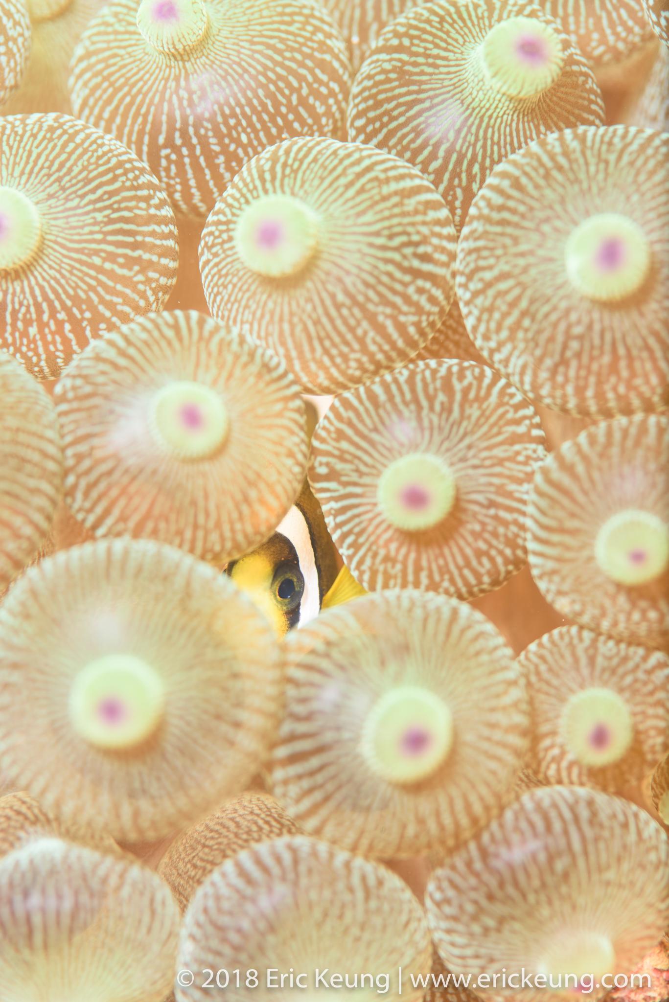 114˚E珊瑚魚普查計劃資料庫的專業攝影圖片:小丑魚。(Credit: Eric Keung)