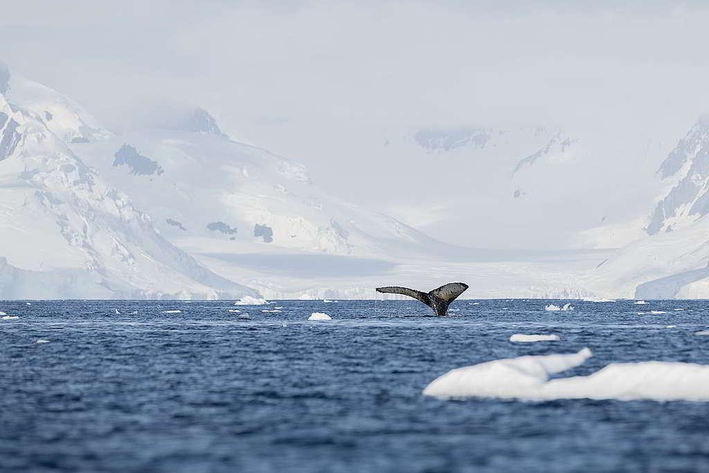 綠色和平船艦今年2月與科學家到訪南極考察,記錄座頭鯨生態。© Christian Åslund / Greenpeace