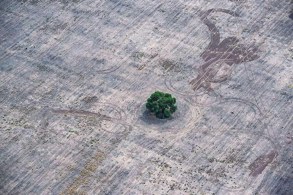 這棵樹木淪為「釘子戶」,彷彿顯現了大查科森林的縮影。 © Martin Katz / Greenpeace
