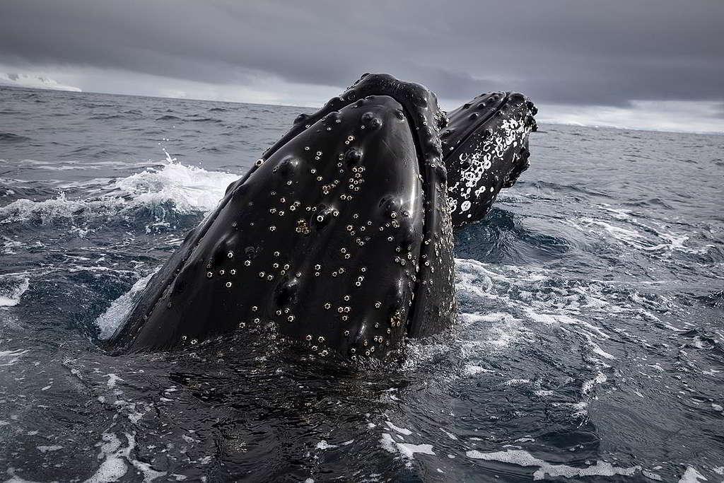 迫力驚人!綠色和平科研團隊觀測鯨魚時,兩隻座頭鯨靠近小艇。 © Abbie Trayler-Smith / Greenpeace