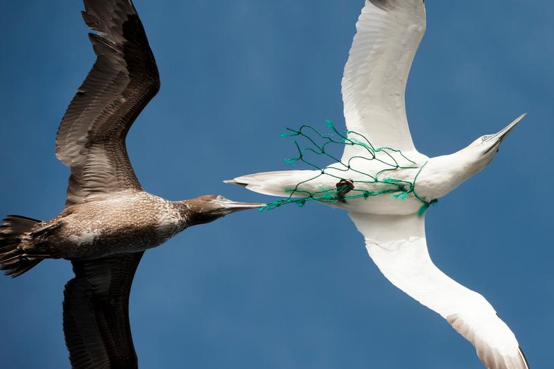 在距離毛里塔尼亞海岸20英里的空中,發現一隻海鳥的頸部纏著一縷塑膠漁網。© 綠色和平