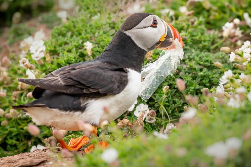 一隻海鸚鵡誤將塑膠垃圾當作食物。© 綠色和平