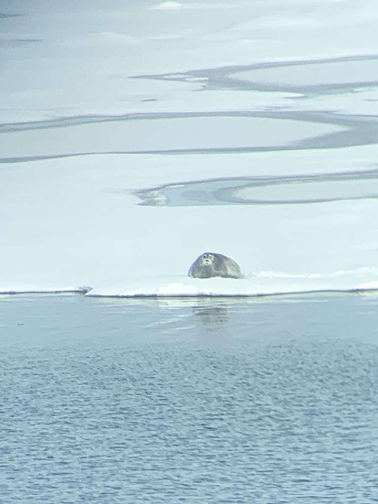 用手機從遠處拍攝的髯海豹正在海冰上休息。© Eric Wong / Greenpeace