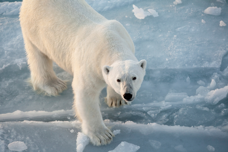 北極熊出沒在極地曙光號附近。© Nick Cobbing / Greenpeace