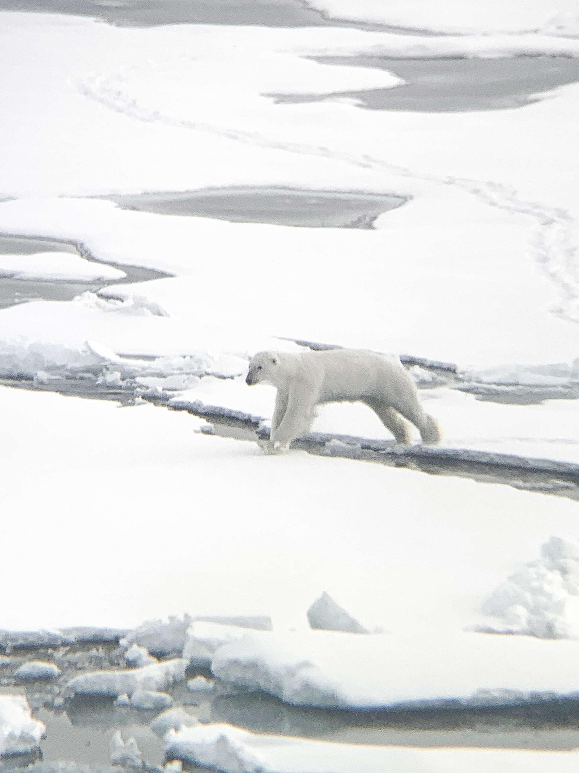 在北緯80度斯瓦爾巴群島拍攝的北極熊。牠們所需要的其實是這種平坦又堅固的海冰。© Eric Wong / Greenpeace