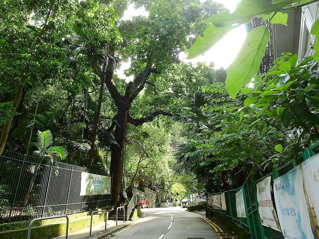 公園己連拿利的入口的白蘭,我心目中的神木,香港的古樹名木。© helen yip