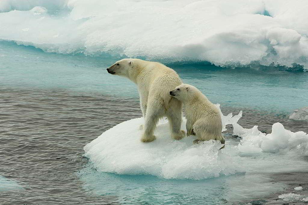 北極熊以習慣在海冰上休息的海豹為主要食糧,如今在冰川融化加劇下,難尋平坦而堅固的覓食環境。 © Larissa Beumer / Greenpeace