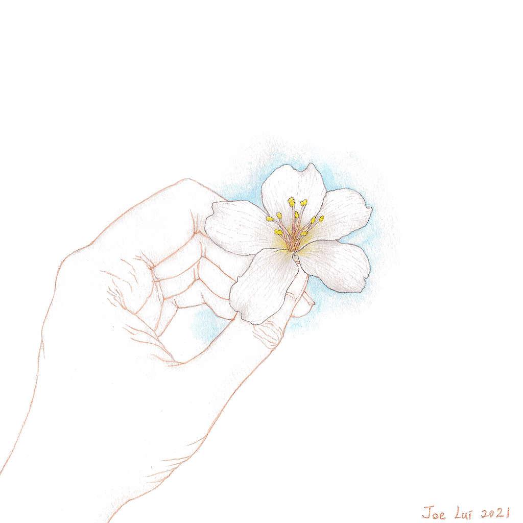【手上留情】油桐樹 © 呂朗婷