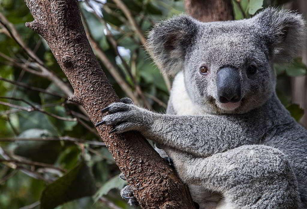 部份大火中獲救的樹熊暫時寄居於澳洲昆士蘭省陽光海岸的庇護所,準備日後再次放歸野外。 © Paul Hilton / Earth Tree Images