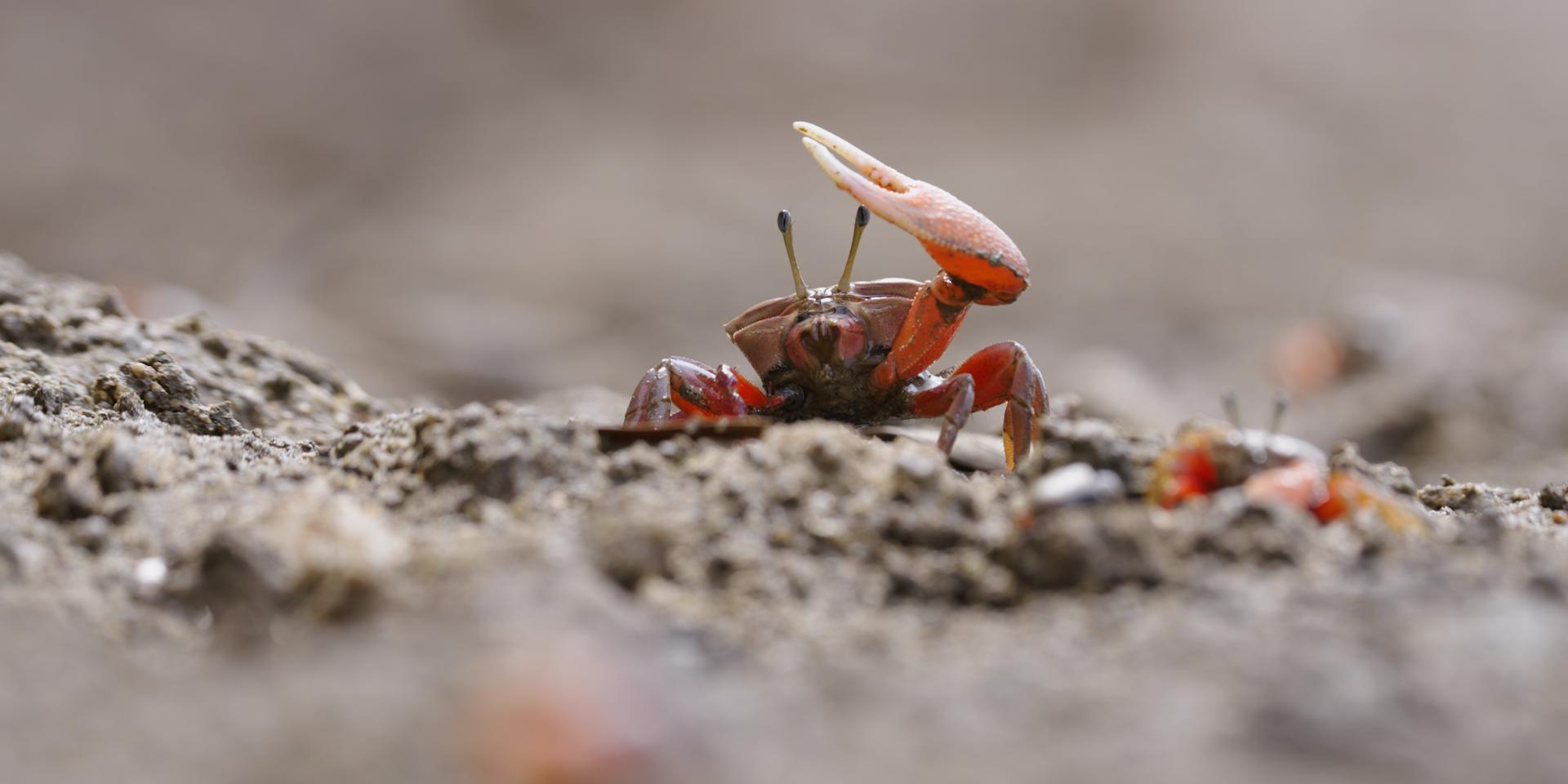 弧邊招潮蟹。 © FHS