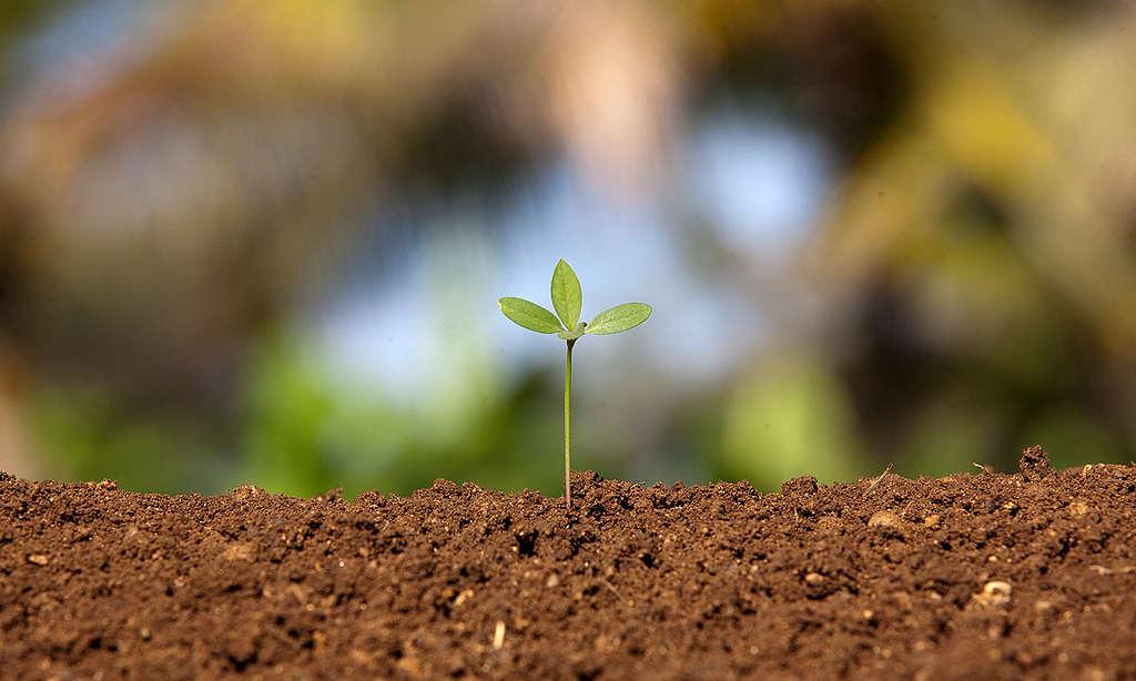 有機土壤上的幼苗 © Greenpeace / Vivek M.