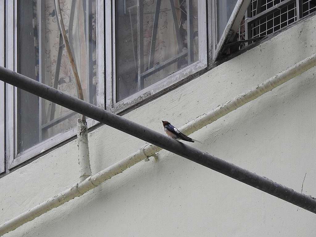 春夏交接,香港家燕,美麗的自然景觀,香港舊區人鳥共融。© helen yip