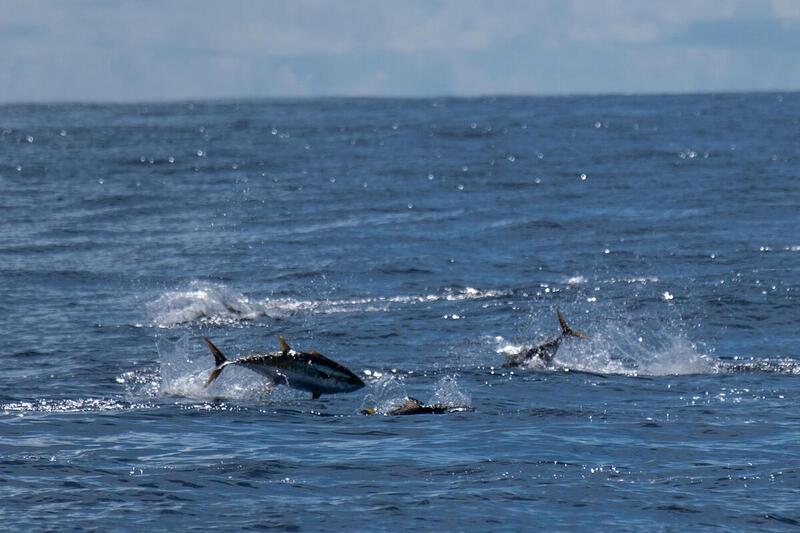 印度洋中吞拿魚躍出海面,正在捕食。 © Tommy Trenchard / Greenpeace