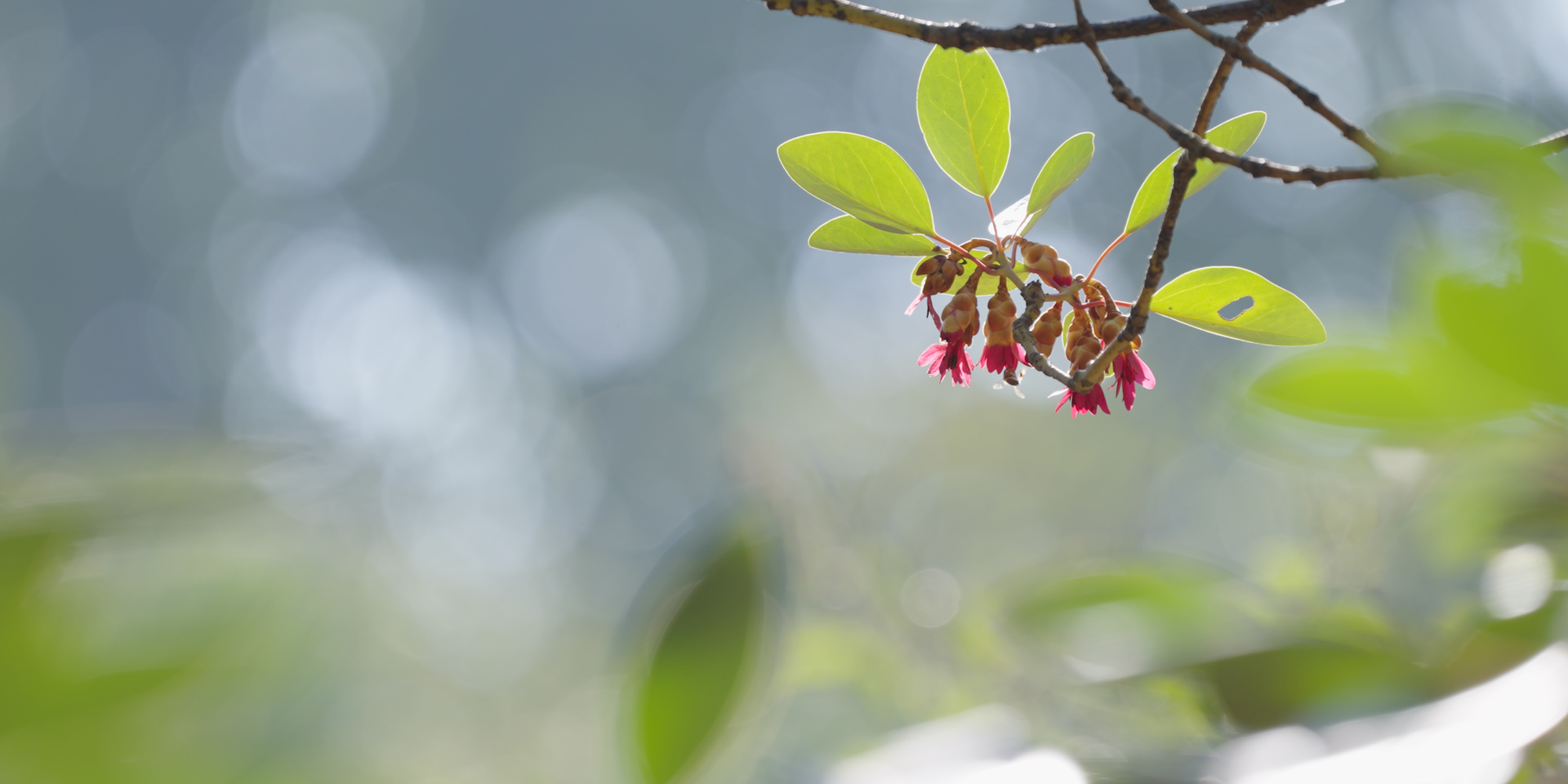 吊鐘王。 © FHS