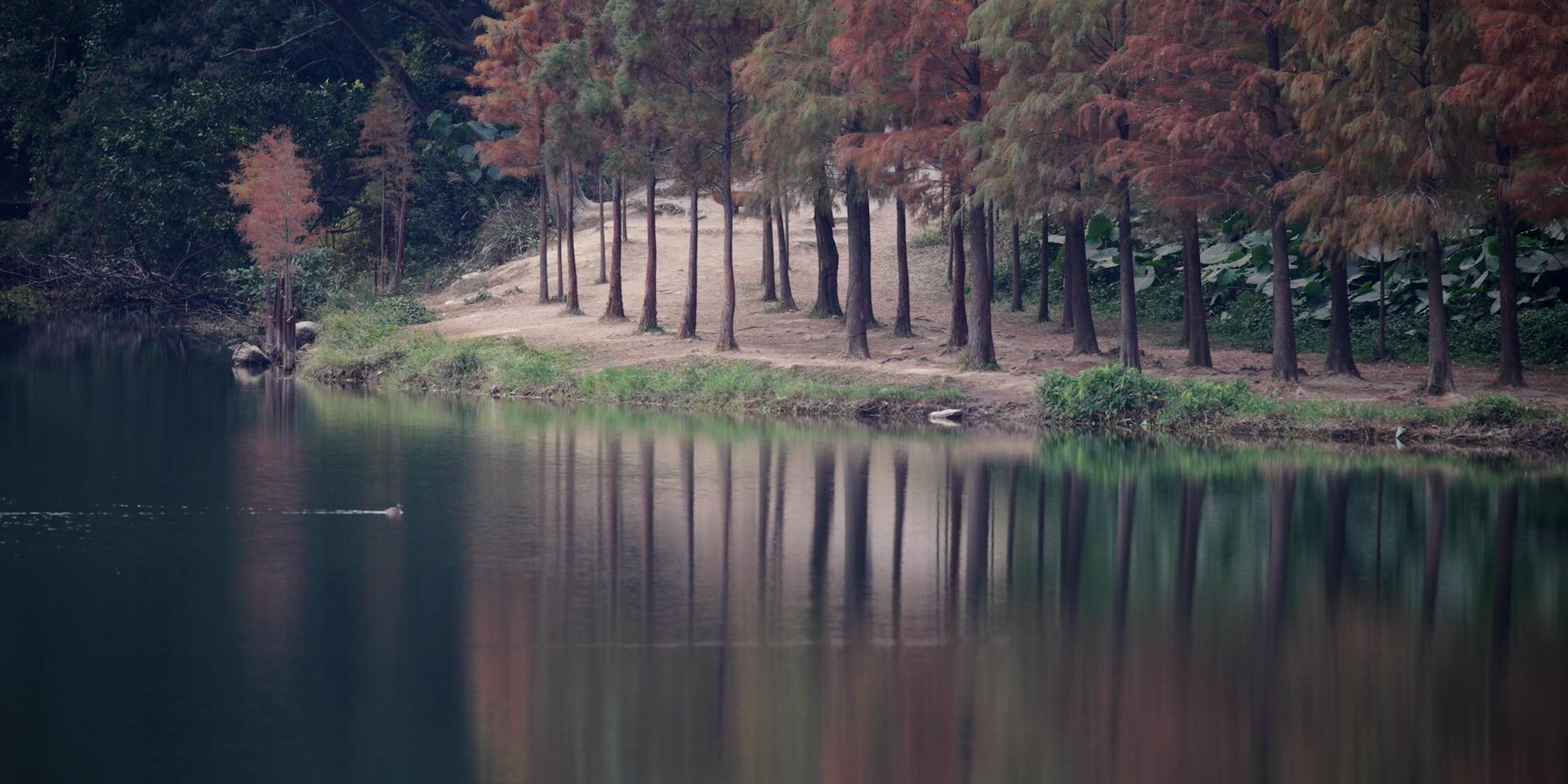 落羽杉,流水響水塘。 © FHS