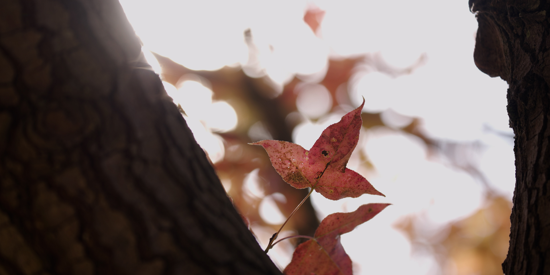 楓香。 © FHS