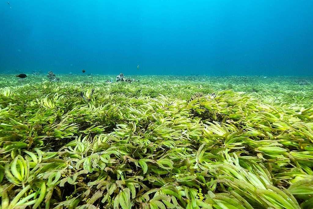印度洋薩耶迪馬尼亞沙洲(Saya De Malha Bank) 有全世界最大的海草床 © Tommy Trenchard / Greenpeace
