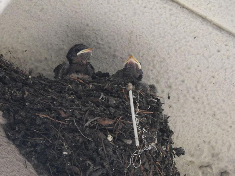 唐樓屋簷下的雛燕,攝於2021年香港舊區。有趣發現,燕巢物料包括棉花棒。 © helen yip