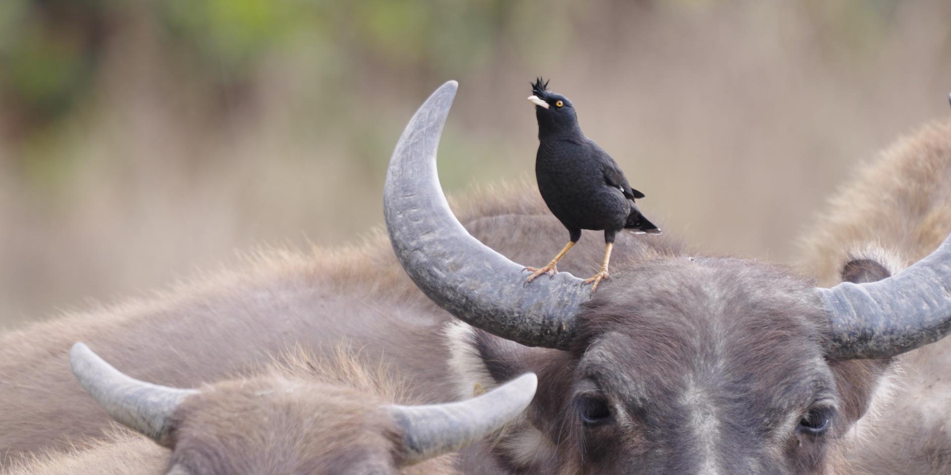 八哥和水牛。 © FHS