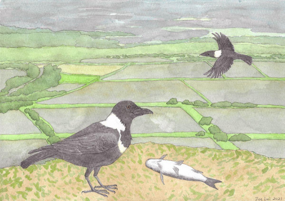 【被忽略的瀕危生物 】白頸鴉 © 呂朗婷