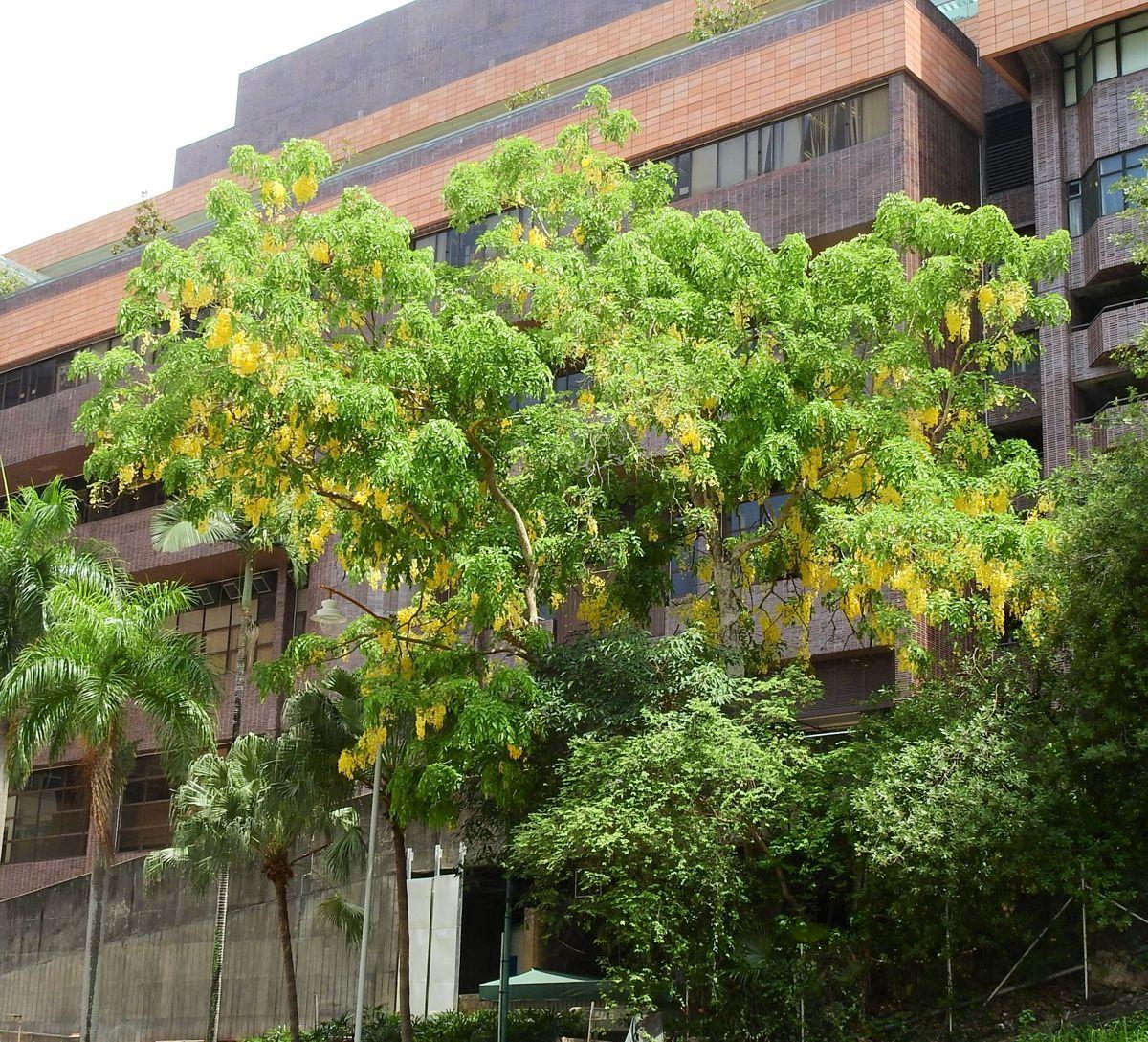 今年初夏,滿城盡是黃金雨。© helen yip