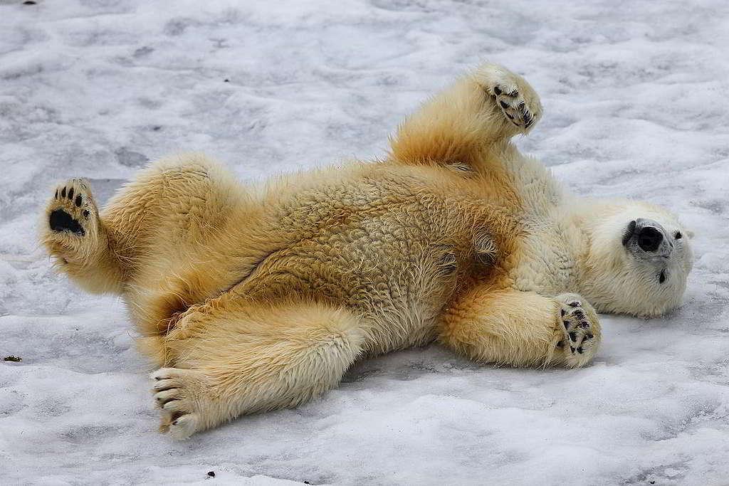 40:2013年在北極斯瓦爾巴島(Svalbard),攝影師捕捉到北極熊的頑皮姿勢。綠色和平船艦定期前往北極進行各種科研任務,發現海冰消融趨勢不容樂觀,更有研究指出北極最快2035年就會度過無冰夏日。 © Roberto Isotti / A.Cambone / Homo ambiens / Greenpeace