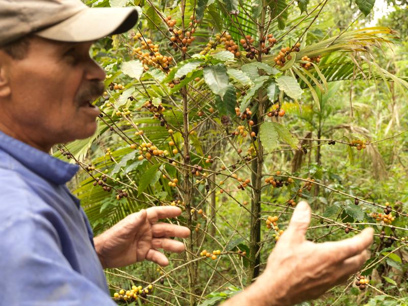 巴西生態農夫Zé da Floresta帶我們看他種植的咖啡。© Peter Caton / Greenpeace