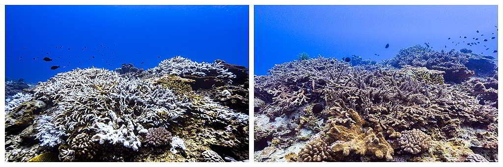 左右兩圖分別攝於去年10月及今年4月,可見綠島大白沙的軸孔珊瑚本體或周圍未完全脫離 白化狀況和部分復原,被評為「持平」狀態。 Ⓒ Greenpeace