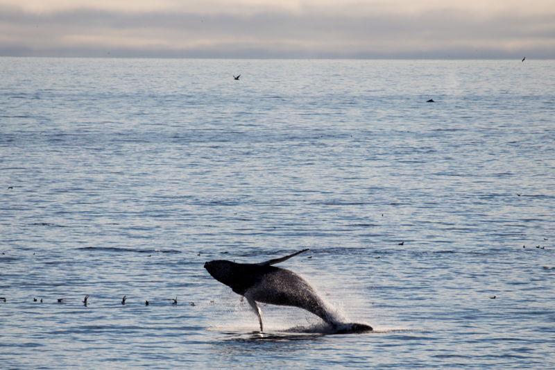 座頭鯨出名貪玩,憑藉強有力的背鰭可以躍出水面幾米高 © Wilson Cheung