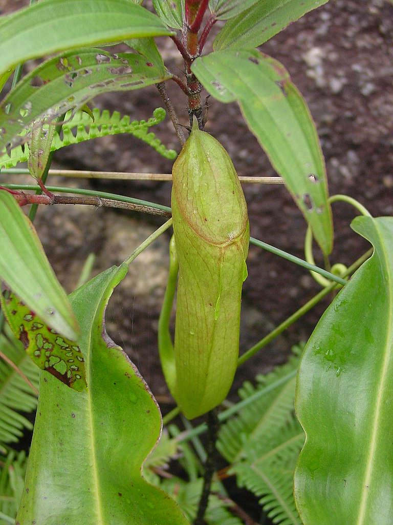 「香港珍稀植物」豬籠草 © 馬屎